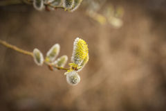 A branch of pussy-willow with fresh fuzzy buds in spring Stock Photography