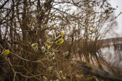 A branch of pussy-willow with fresh fuzzy buds in springtime Stock Images
