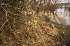 A branch of pussy-willow tree with fresh fuzzy buds in springtime Royalty Free Stock Photos