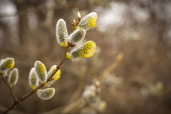 A branch of pussy-willow tree with fresh fuzzy buds in springtime Stock Images