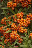 Branch of Pyracantha. The branch of pyracantha with bright orange berries and green leaves Stock Photos