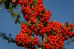 Branch of pyracantha or firethorn plant with bright red berries against the blue sky. Berries adorn the bush in autumn. And all winter. Nature concept for royalty free stock images