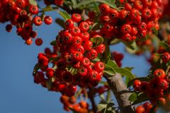 Branch of pyracantha or firethorn plant with bright red berries against the blue sky. Berries adorn the bush in autumn. And all winter. Nature concept for stock photos