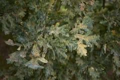 Quercus robur branch. Branch of Quercus robur tree with desease Stock Image