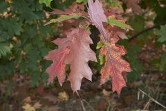 Quercus rubra red foliage. Branch of Quercus rubra with red foliage stock image