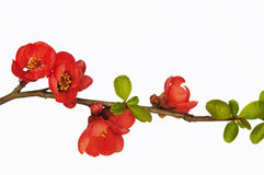 Branch of quince in blossom. Isolated on white background Stock Photo
