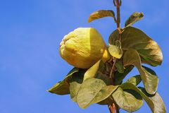 Branch of quince tree Cydonia oblonga with leaves and one ripe fruit against blue sky. Branch of a quince tree Cydonia oblonga with leaves and one ripe fruit royalty free stock photos