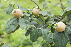 The branch of quince Stock Photo