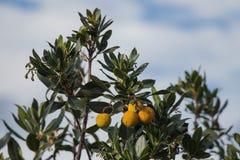 Branch of Rambutan tree with yellow fruits. Royalty Free Stock Photo