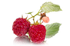 Branch raspberries close-up Royalty Free Stock Photos