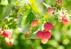 Branch of raspberries Royalty Free Stock Photography