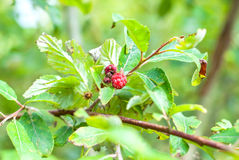 Branch of raspberries Royalty Free Stock Images