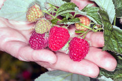 Branch of raspberries Royalty Free Stock Photo