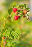 Branch  raspberry Royalty Free Stock Photo