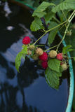 Branch with a raspberry berry Stock Images