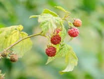 Branch with raspberry Stock Photography