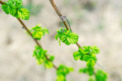 A branch of raspberry with green leaves. Closeup. Stock Photos