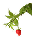 The branch of a raspberry isolated on white. Background Royalty Free Stock Images