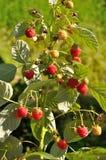 Branch of raspberry Stock Image