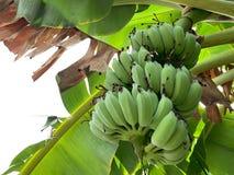 Raw Cultivated banana on banana tree. A branch of Raw Cultivated banana on green banana tree stock image