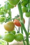 Branch of ready to ripen tomatoes Stock Images