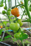 Branch of ready to ripen tomatoes Stock Photo