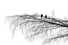The Branch Of Reconciliation. View of two wood pigeons on a tree branch, looking in the opposite direction. Scene resembles two lovers sitting on a stock image