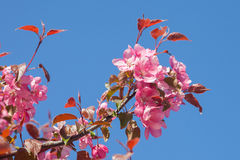 The branch of red Apple blossoms Stock Photos
