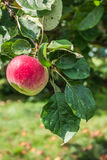 Branch with red apple. Close up Royalty Free Stock Photo