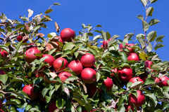 Branch with red apples against blue sky. Royalty Free Stock Photo