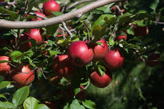Branch with red apples against blue sky. Stock Photography