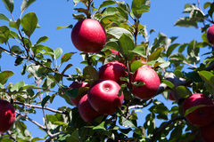 Branch with red apples against blue sky. Stock Photos