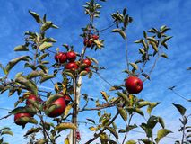 A branch with red apples. A branch with red apples against the blue sky.  Apple tree in October. Poland. Apple orchard royalty free stock images
