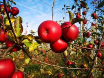 A branch with red apples. A branch with red apples against the blue sky. Apple tree in October. Poland. Apple orchard stock photos