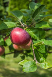 Branch with red apples. Close up Royalty Free Stock Photo