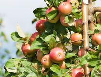A branch with red apples Stock Image