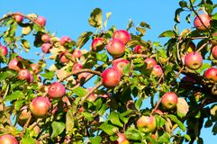 A branch with red apples Royalty Free Stock Photo