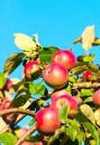 A branch with red apples Royalty Free Stock Image