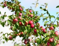 A branch with red apples Royalty Free Stock Images