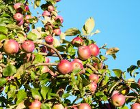 A branch with red apples. Royalty Free Stock Photos