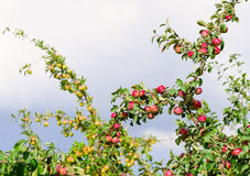 A branch with red apples Stock Images