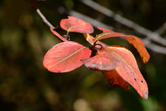 Branch with red autmun leaves Royalty Free Stock Photos