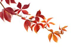 Branch of red autumn grapes leaves Royalty Free Stock Photography