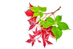 Branch of red autumn grapes leaves. Parthenocissus quinquefolia foliage. Isolated on white background. Branch of red autumn grapes leaves. Parthenocissus Royalty Free Stock Image
