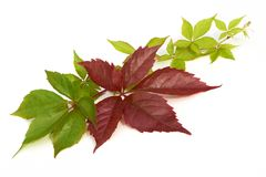 Branch of red autumn grapes leaves. Parthenocissus quinquefolia foliage.  on white background. Branch of red autumn grapes leaves. Parthenocissus quinquefolia Stock Photography