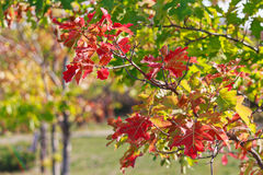 Branch with red autumn leaves illuminated by the sun Royalty Free Stock Photography