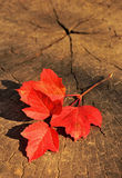 Branch with red autumn leaves on a wooden background Stock Photo