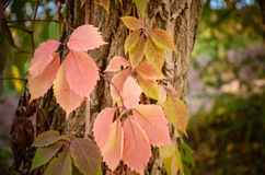 Branch of red autumn wild grape leaves Stock Image