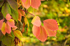 Branch of red autumn wild grape leaves Royalty Free Stock Images