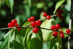 A branch with red berries. A few red berries on a bush branch in the city park royalty free stock photography